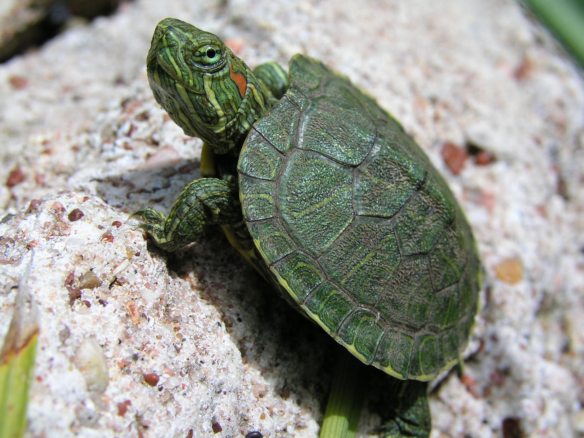 Kaplumbağa Resimleri