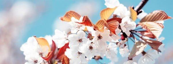 Kiraz Çiçeği Facebook Kapağı