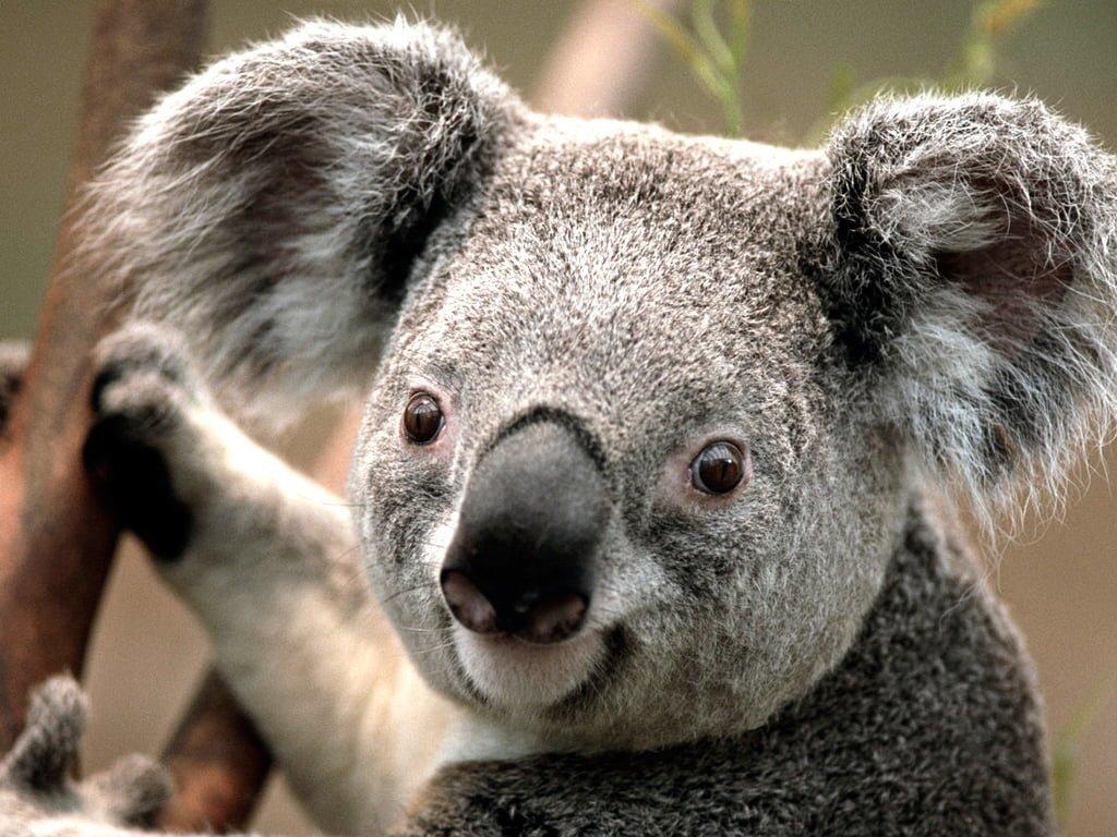 Koala fotoğrafı