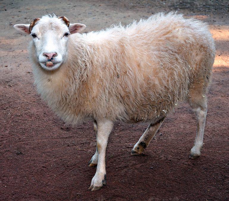 Koyun türleri
