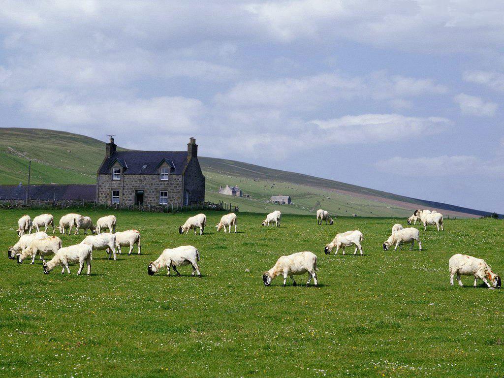 Koyunlar-01