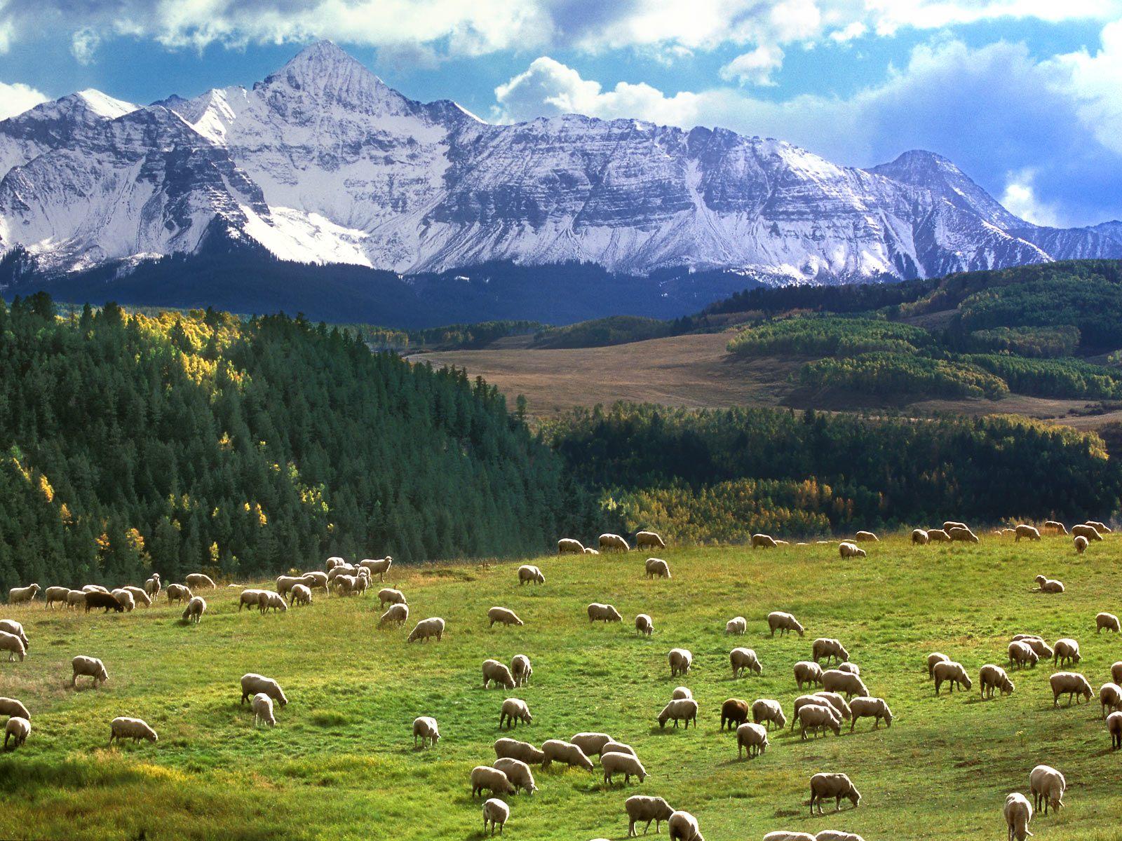 Koyunlar-02