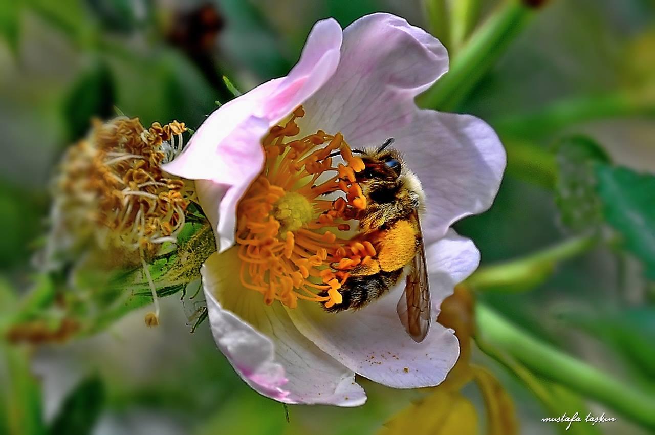 Kuşburnu çiçeği ve bal arısı