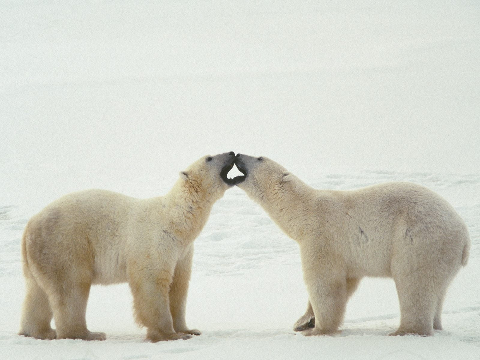 Kutup Ayısı Resimleri – 4