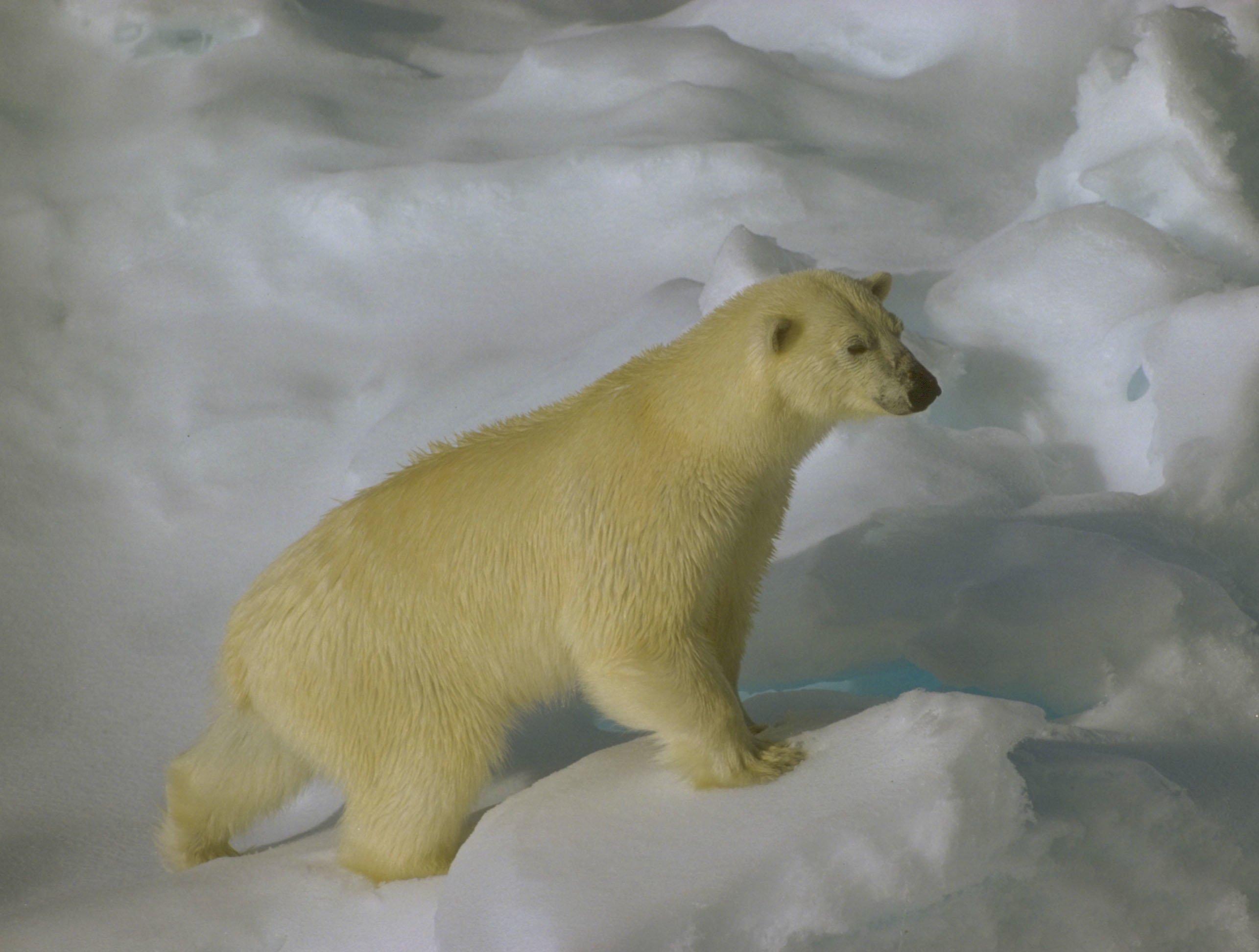 Kutup Ayısı Resimleri