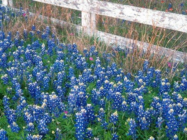 Mavi çiçekli bahçe