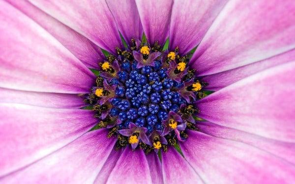 Mavi tonlu pembe çiçek
