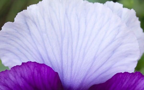 Mor beyaz çiçek