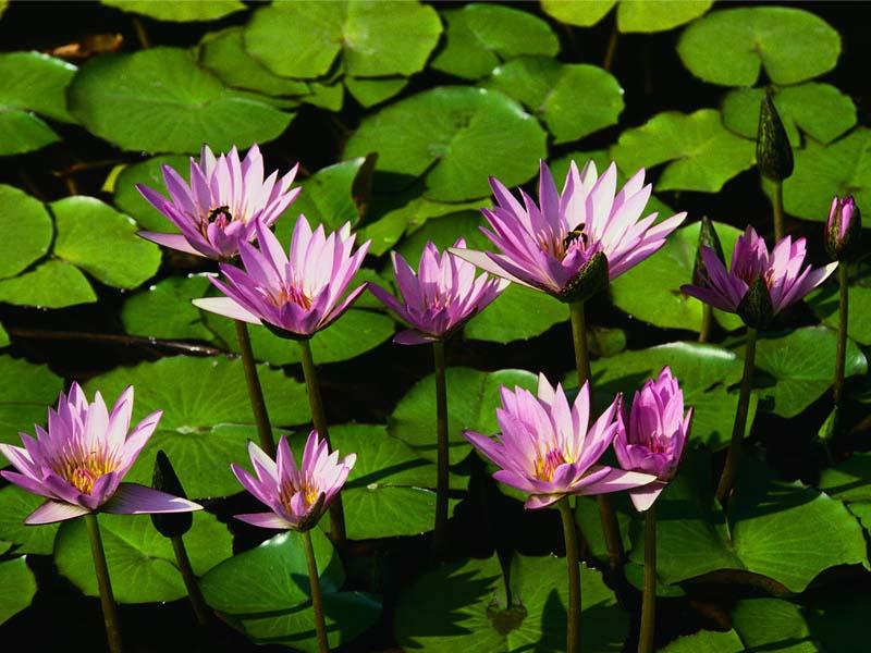 Nilüfer çiçeği – 2