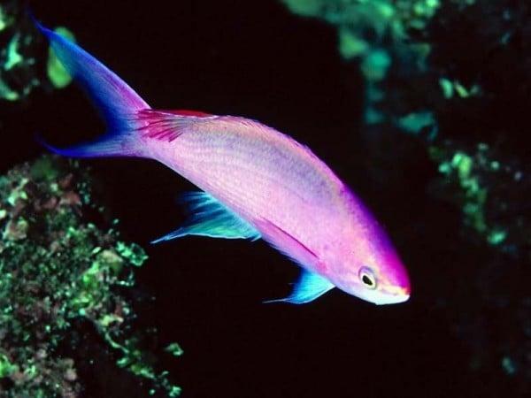Pembe Balık