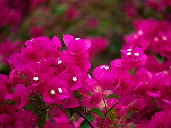 Pembe beyaz tohumlu çiçekler