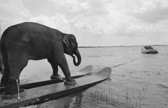 Sörfçü fil