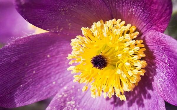 Sarı tohumlu mor çiçek