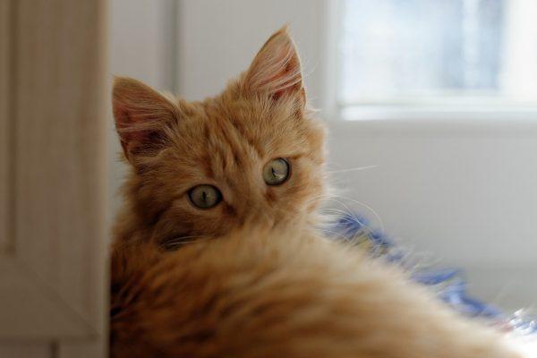 Kedilerin Farklı Halleri - Sarman Cinsi Sarı Kedi