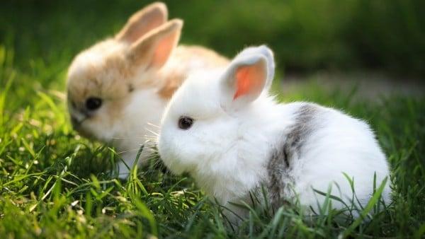 Sevimli Tavşan Resimleri
