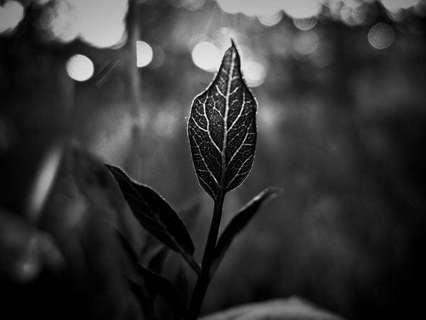 Siyah Beyaz Yaprak