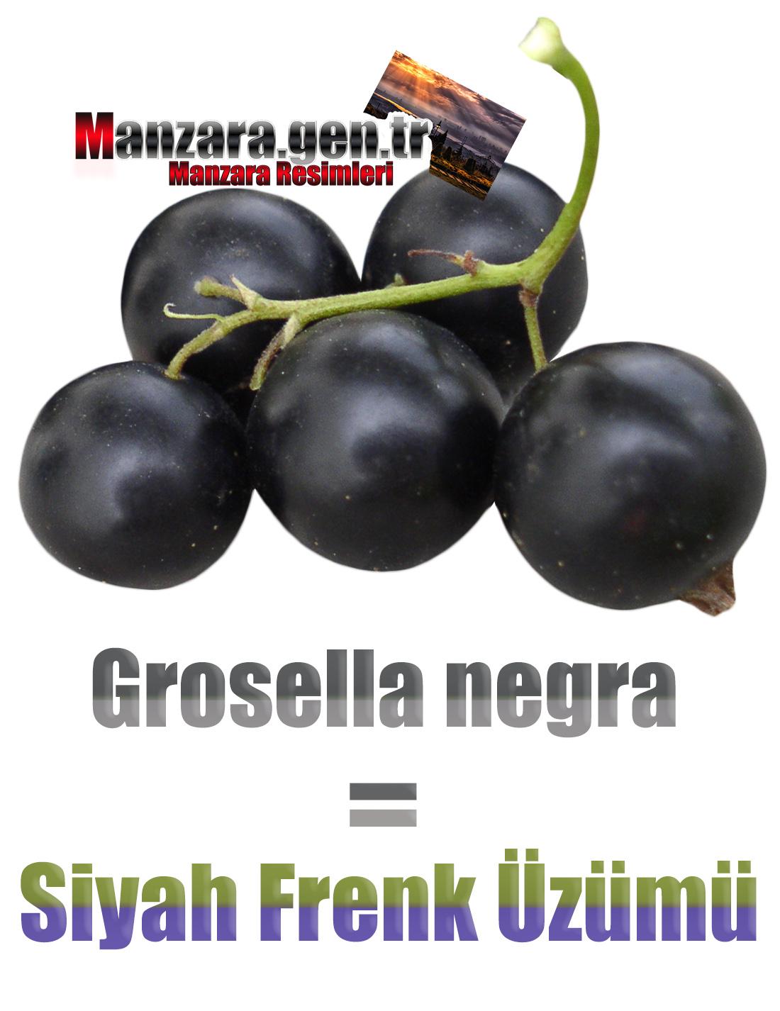 Siyah Frenk Üzümü İspanyolcası (Grosella negra)