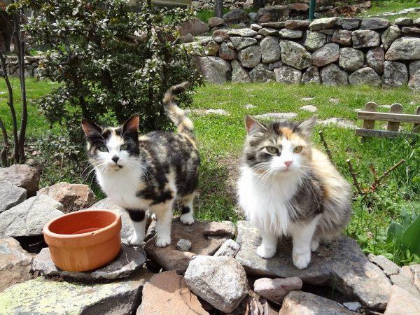 Susamış Kediler