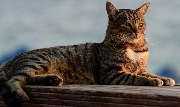 Tekir Kedi