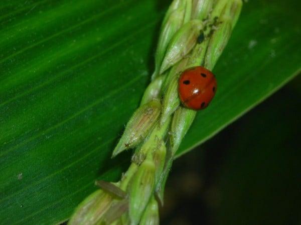 Uğur Böceği Görüntüleri