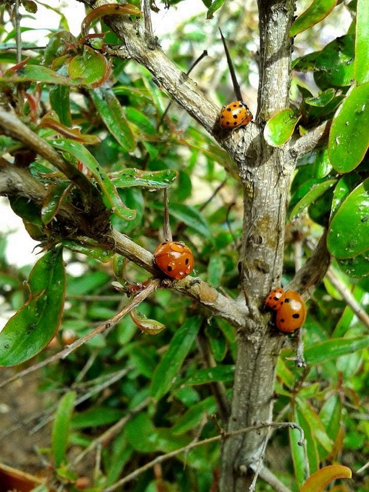 Uğur böceği ailesi
