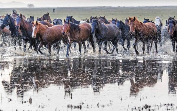 Yılkı Atları - Hürmetçi Köyü
