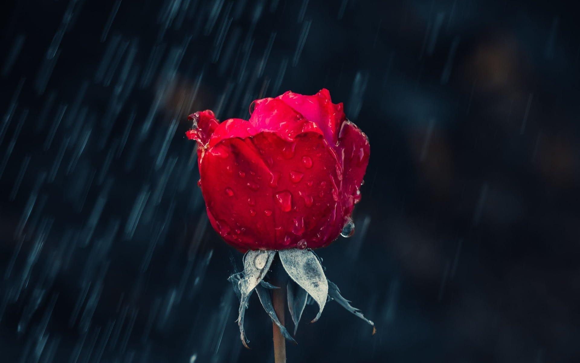 Yağmur ve Kırmızı Gül - Kırmızı Gülün En Güzel Halleri