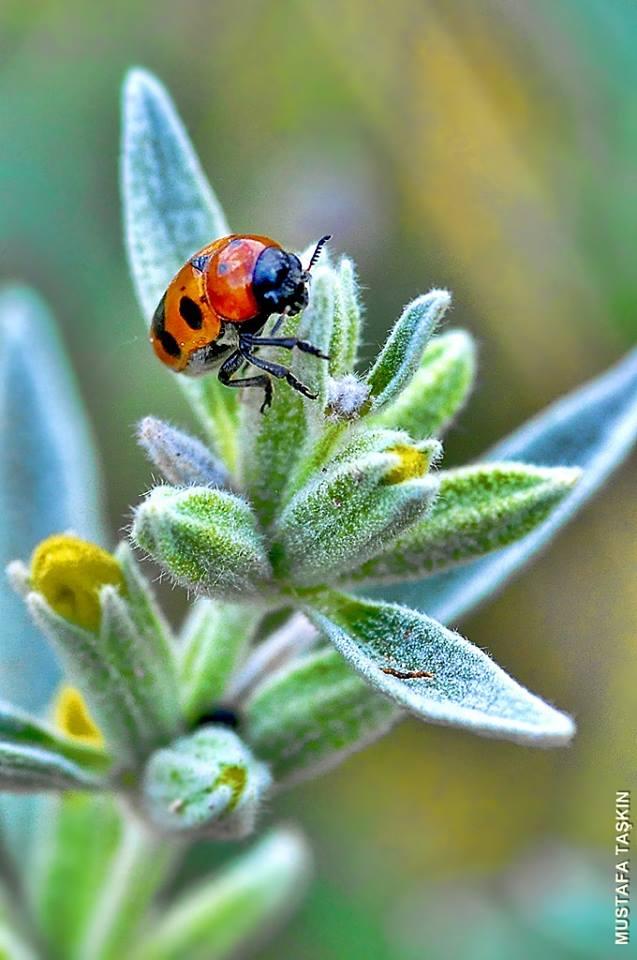 Yakın Çekim Uğur Böceği