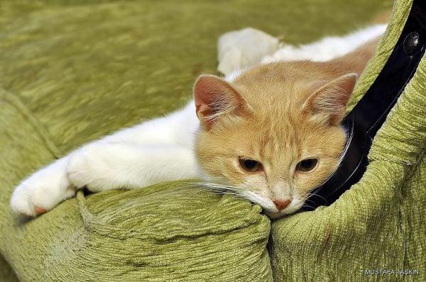 Kedilerin Farklı Halleri - Yastık Üstündeki Kedi