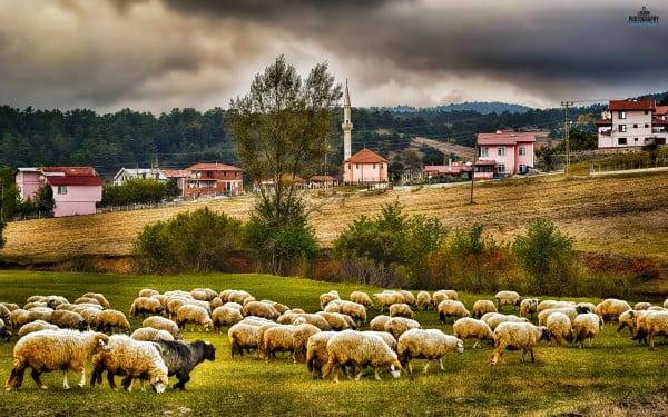 Yayla ve koyunlar