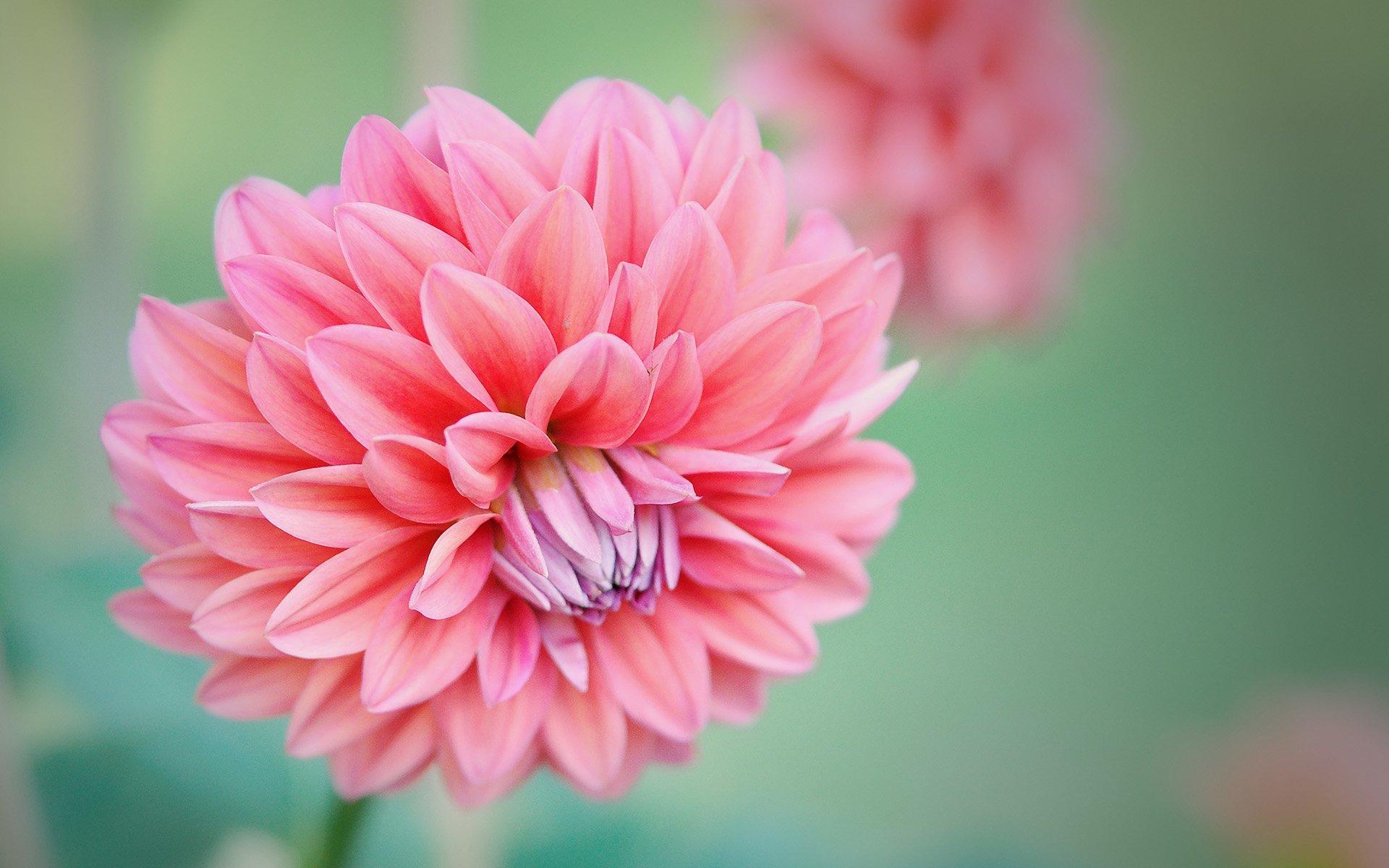 açık pembe yıldız çiçeği