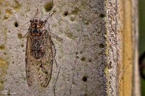 ağustos böceği - 2