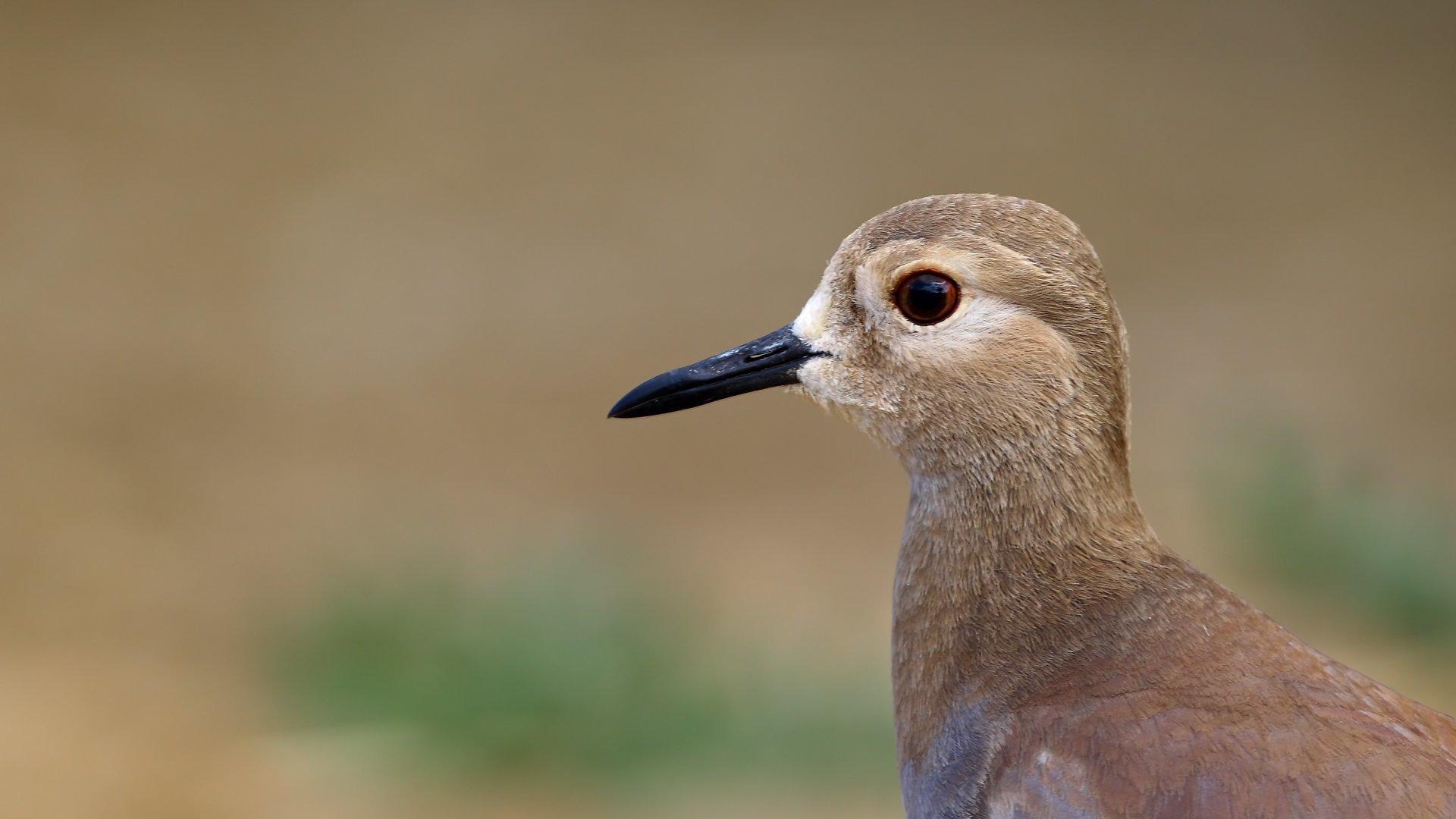 ak kuyruklu kız kuşu