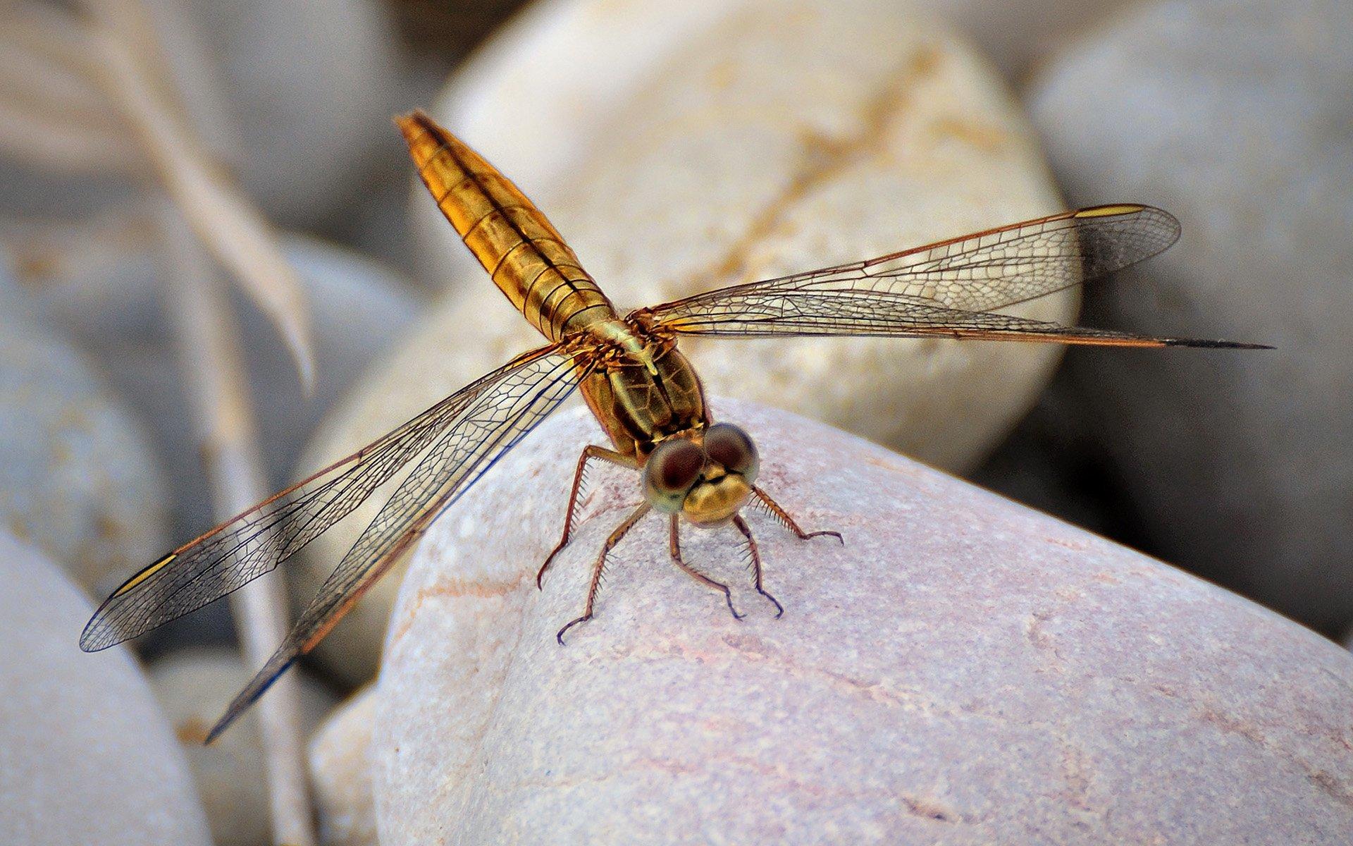 altın renkli yusufçuk