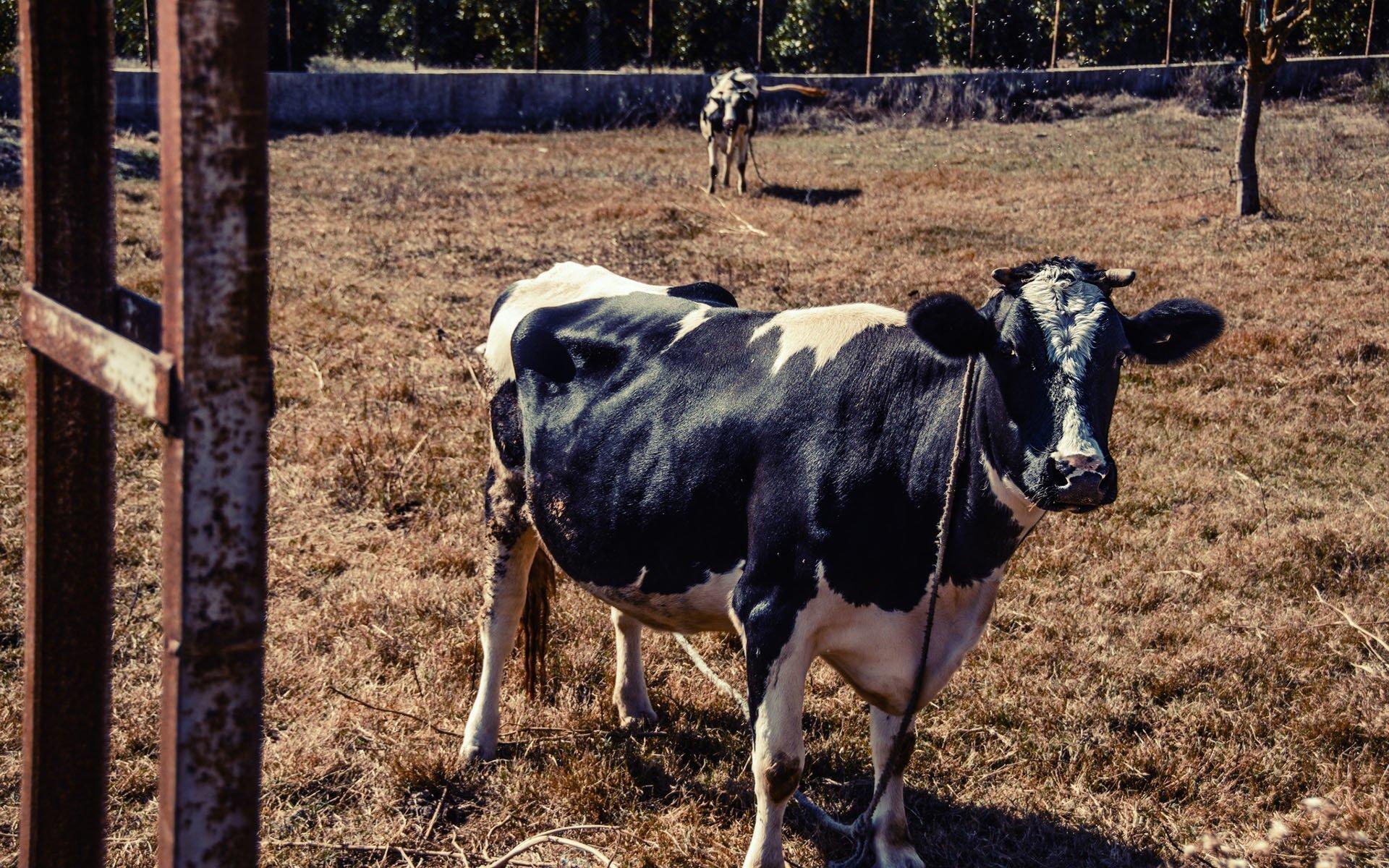 antalya – inek