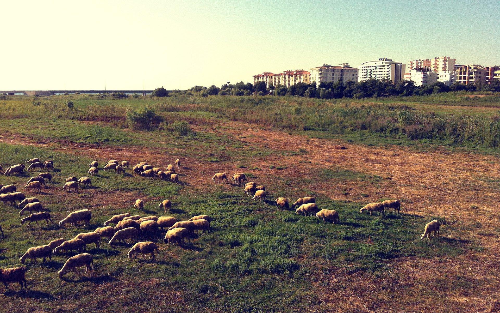antalya koyunlar