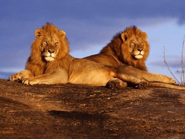 aslanın asaleti