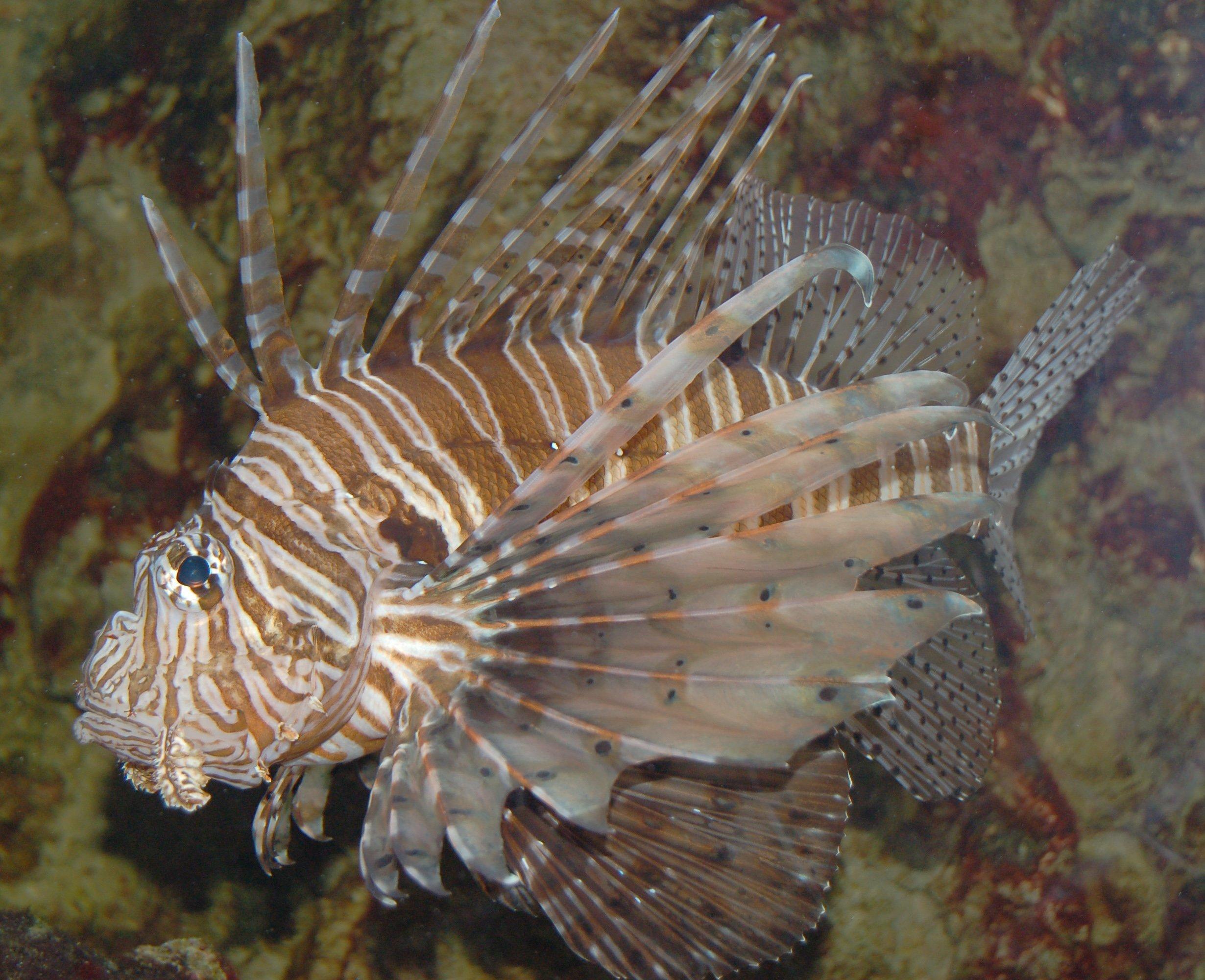 Aslan Balığı Resmi