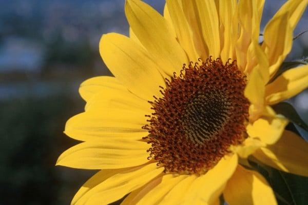 ayçiçeği fotoğrafı