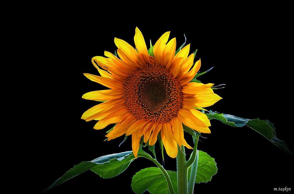 ayçiçeği fotoğrafları