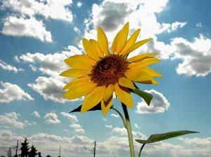 ayçiçeği fotosu