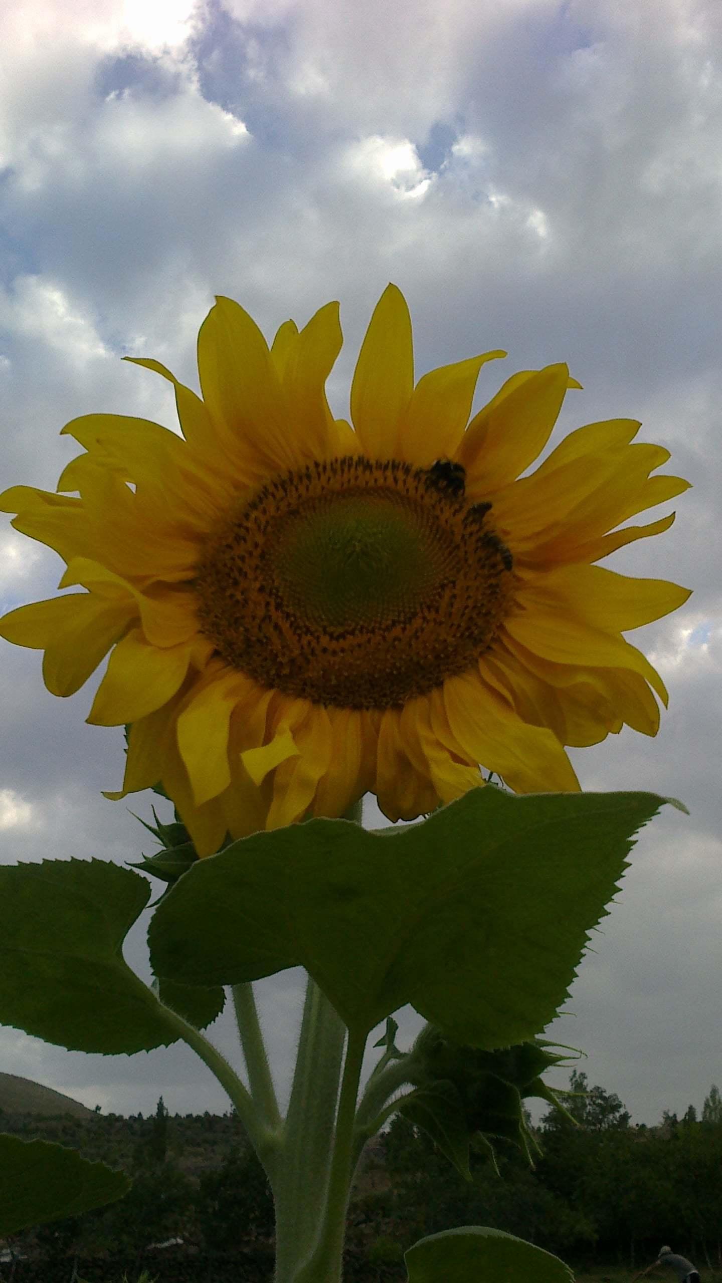 ayçiçeği görüntüsü
