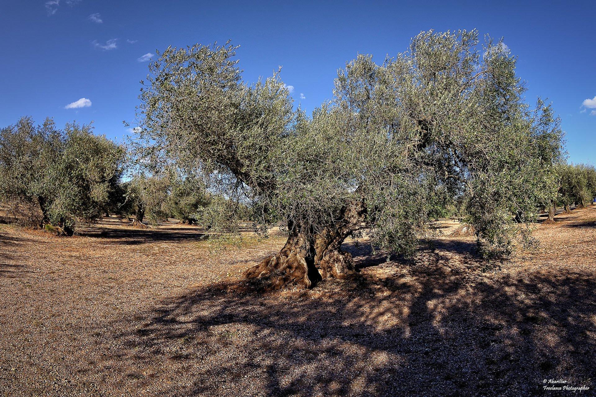 büyük zeytin ağacı