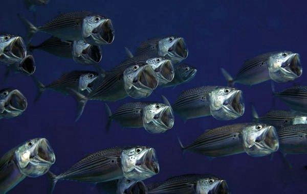 balık korosu