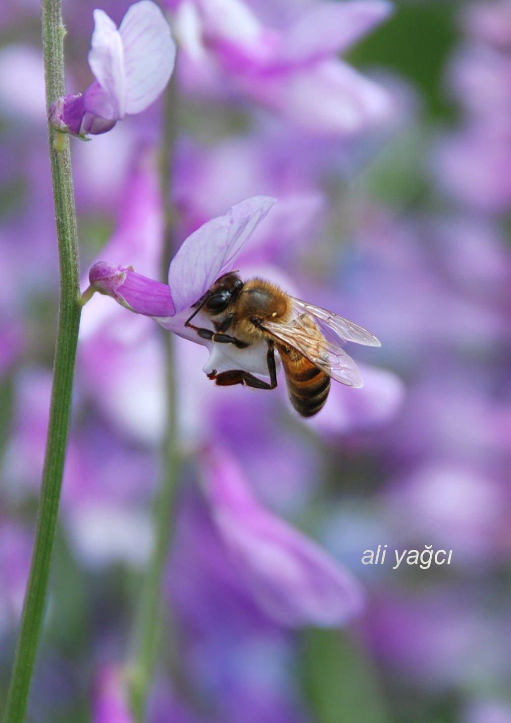bal arısı ankara türkiye