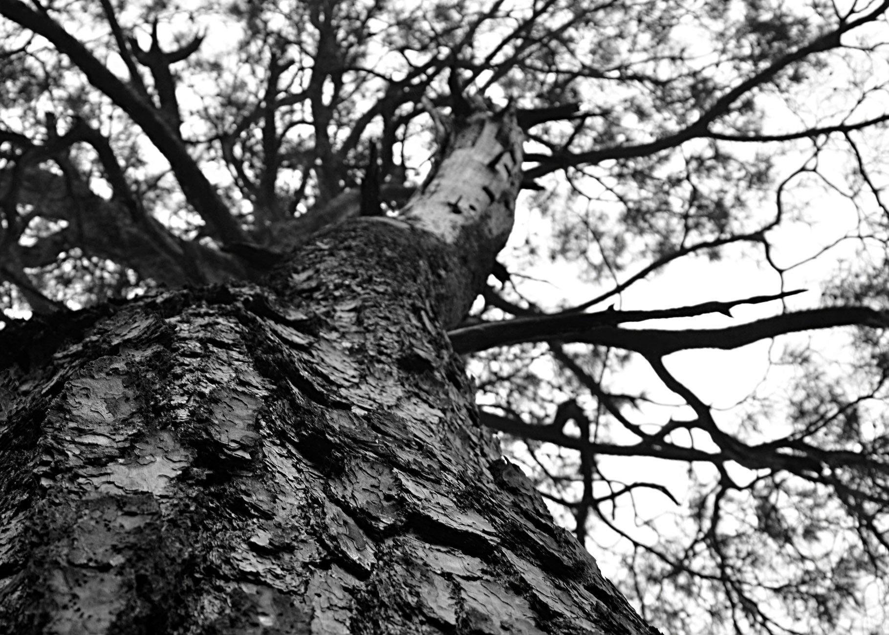 belemedik ağaç