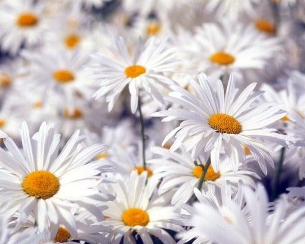 beyaz çiçekler