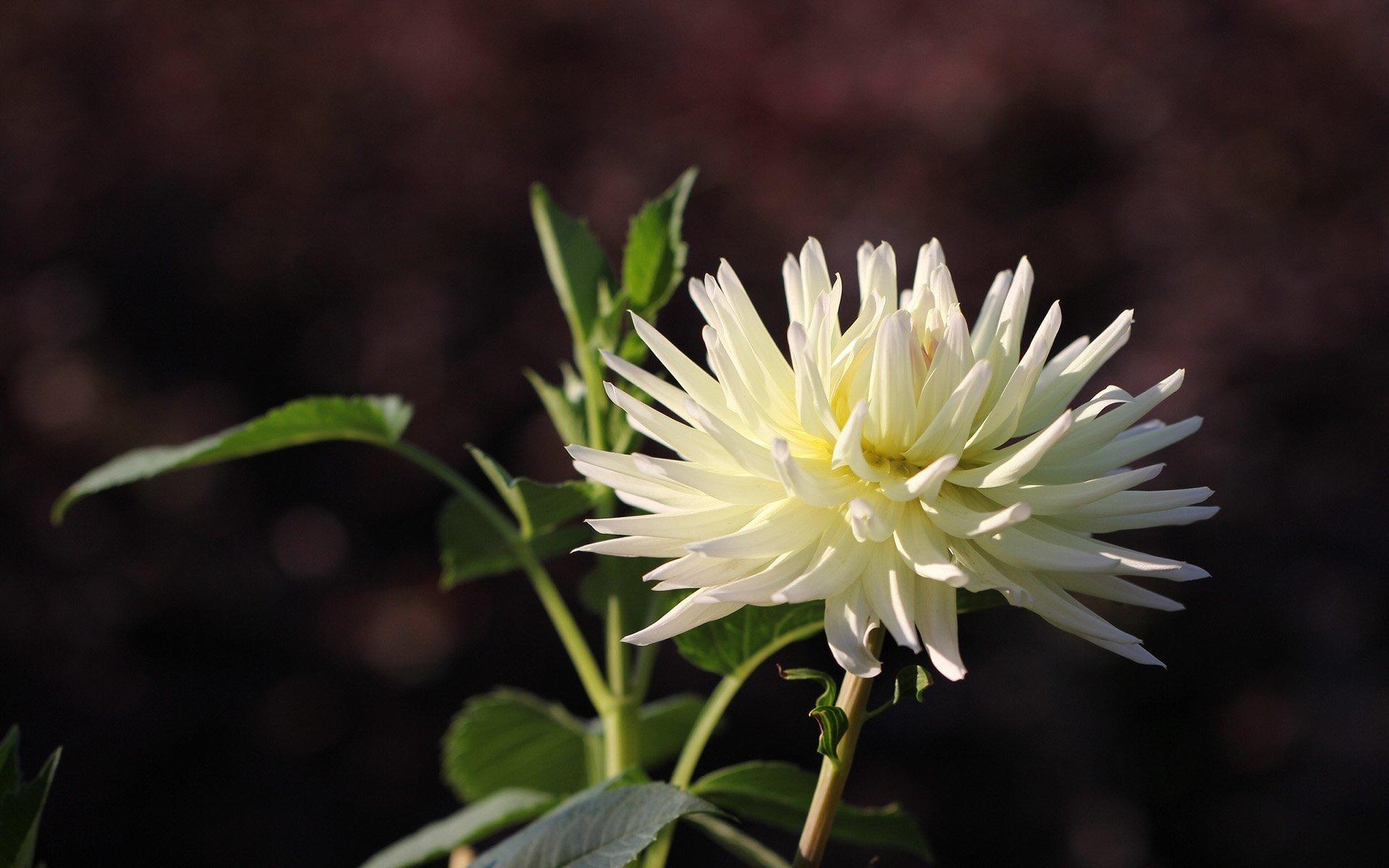 beyaz yıldız çiçeği