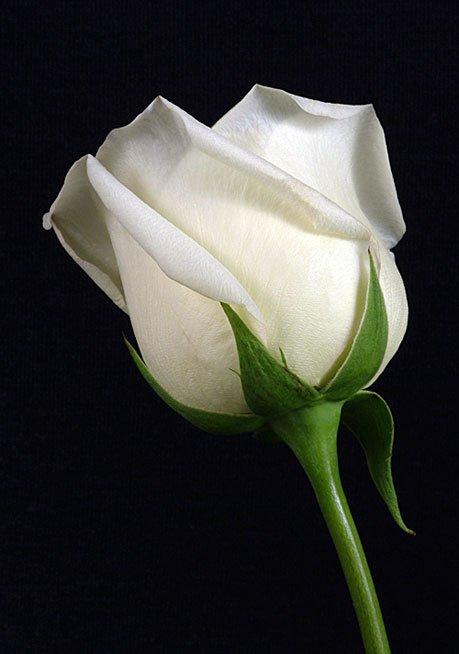 Beyaz Gonca Gül
