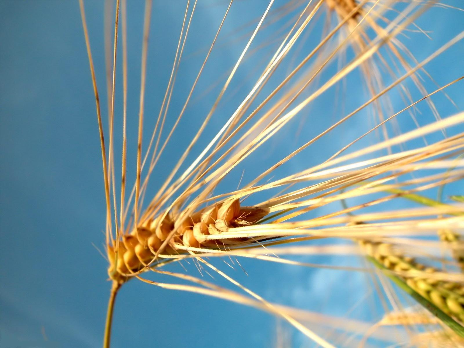 Buğday başakları-1